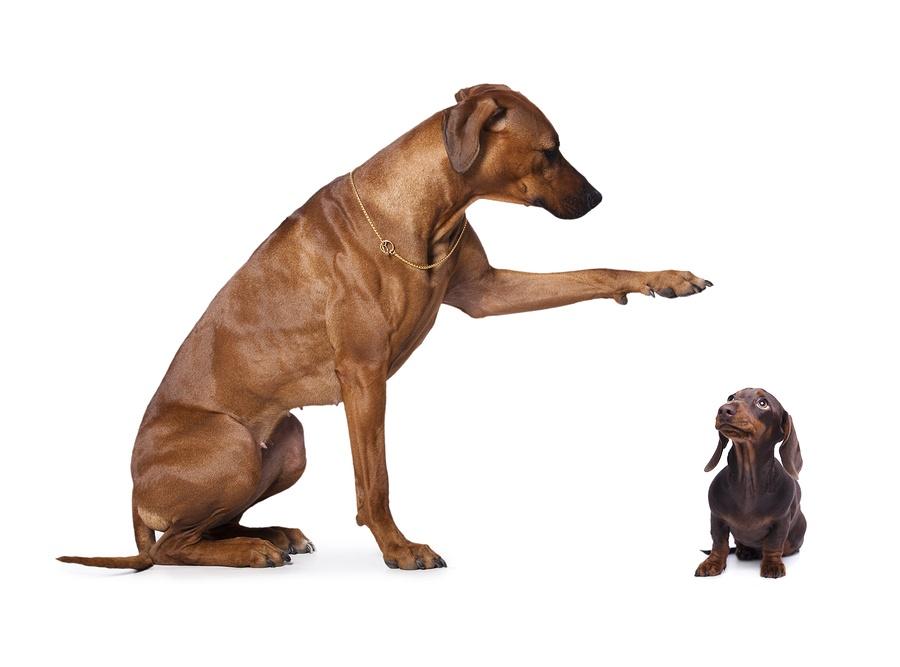 bigstock-dachshund-and-rhodesian-ridge-95982419.jpg